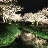 2010 兼六園 桜