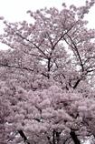 桜マウンテン
