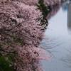 外堀桜景色9