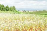 蕎麦の実る丘