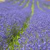 富良野のラベンダー 「濃紫3号」