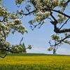 菜の花と白い花の木