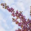 八重桜 空を見る