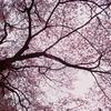 静内 桜の木を見上げて