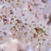 桜~ソメイヨシノ その2