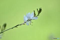 盛夏に咲く清楚な花
