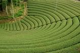 円形茶園1