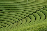 円形茶園2