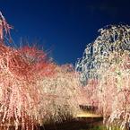 夜の春色演舞