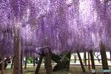 垂れる藤花