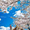 祭りと櫻の競演