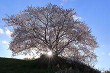 黄昏の一本桜