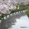 銀板に映す桜並木