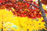 楓+銀杏×西日