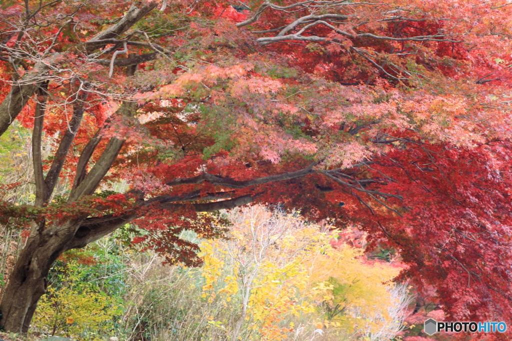トルネード紅葉