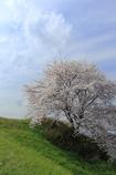 独り占めの一本桜