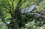 石楠花の咲く室生寺