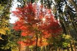 森で輝く楓