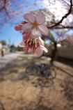 ポタリング桜