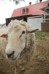 羊の問いかけ