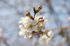 桜の花咲けりどもまだ蕾あり