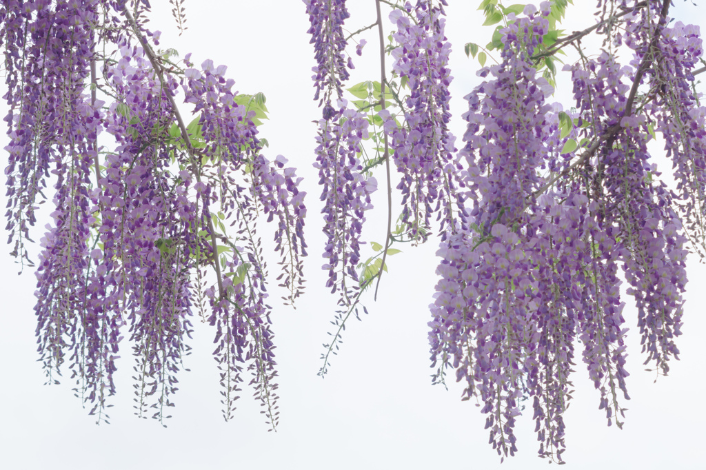 Light purple tassel