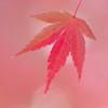 淡紅色の葉