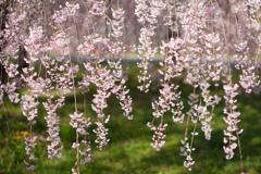 ナイヤガラのような桜