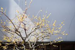 蔵前の蝋梅