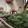 レッサーパンダの木渡り
