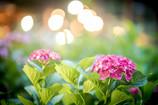 紫陽花の宴