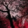 桜の踊り子