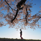 OLYMPUS E-M1で撮影した(桜降る)の写真(画像)