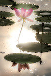 Lotus Heaven