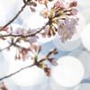ほころぶ桜