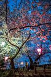 Evening cherry light