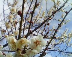 梅の遅咲き