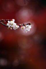 冬桜 ~2017秋ファイナル~