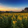 ひまわり畑のその美しい風景