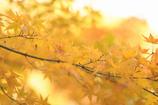 ぼんやり黄葉