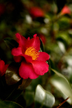 冬の花〜山茶花
