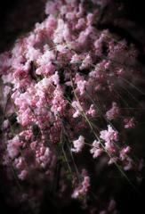 Cherry blossoms in the Rain.