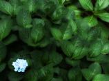 Last Hydrangea