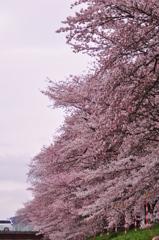 咲き連なる。