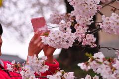 桜に夢中。