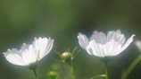花便り - 白秋桜家族 -