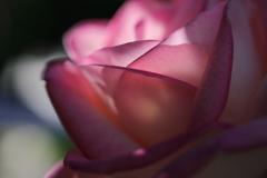 花便り - 蝋の薔薇 -