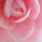 花便り - お留の椿 -