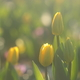 花便り - 可憐なストロングゴールド -