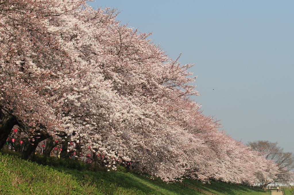 花便り - 桜花堤に咲く -